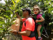 Cherry Picking The Little Explorer 22-06-2019